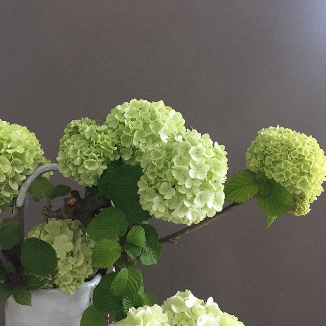 自然光を受け、植物達が可憐に、美しく。朝のoriori galleryにて#紫陽花 #頂き物 #自然光 #植物のある暮らし #豊かな暮らし #インテリア #インテリアコーディネート #住宅設計 #oriori #ラグデザイン #浜松市